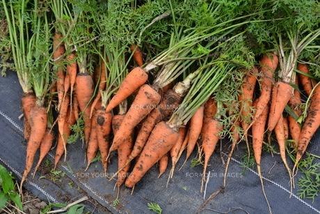 人参の収穫 / 家庭菜園の写真素材 [FYI01190524]
