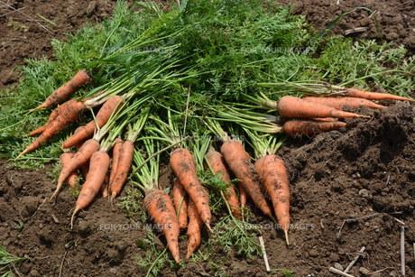 人参の収穫 / 家庭菜園の写真素材 [FYI01190525]