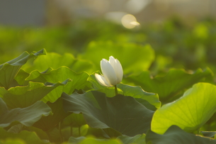 夕方の蓮の花の写真素材 [FYI01190527]