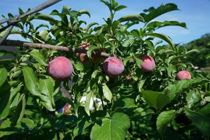 風に吹かれる桃の写真素材 [FYI01190579]