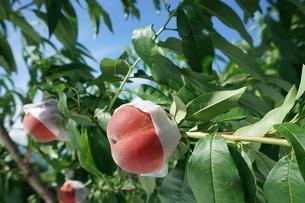 風に吹かれる桃の写真素材 [FYI01190581]