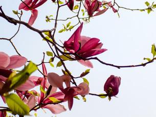紫木蓮 Purple magnoliaの写真素材 [FYI01190589]