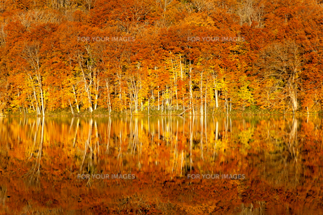 十和田蔦沼の紅葉の写真素材 [FYI01190661]