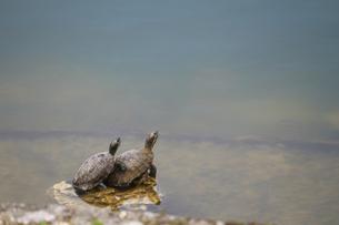 池の中の石の上で空を見上げる二匹の亀の写真素材 [FYI01190673]