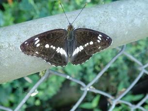 イチモンジ蝶の写真素材 [FYI01190683]