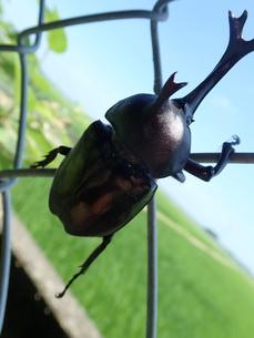 カブトムシの雄の写真素材 [FYI01190689]