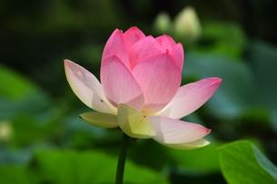 ハスの花の写真素材 [FYI01191108]