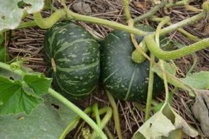 かぼちゃ栽培 / 生育・収穫 / 家庭菜園の写真素材 [FYI01191442]