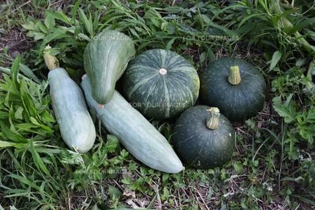 かぼちゃ栽培 / 生育・収穫 / 家庭菜園の写真素材 [FYI01191446]