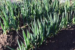 白ネギ栽培 / 植え付け・生育 / 家庭菜園の写真素材 [FYI01191459]