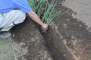 白ネギ栽培 / 植え付け・生育 / 家庭菜園の写真素材 [FYI01191460]