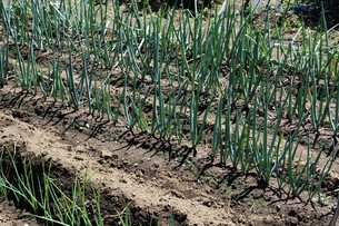 白ネギ栽培 / 植え付け・生育 / 家庭菜園の写真素材 [FYI01191461]