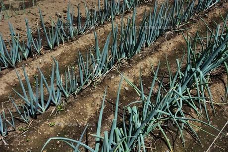 白ネギ栽培 / 植え付け・生育 / 家庭菜園の写真素材 [FYI01191462]