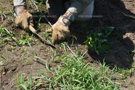 草むしり / 家庭菜園の写真素材 [FYI01191488]