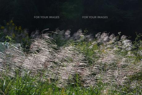 秋の風物詩・ススキの写真素材 [FYI01191492]
