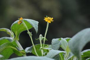 ヤーコンの花の写真素材 [FYI01191513]