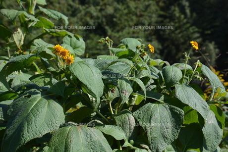 ヤーコンの花の写真素材 [FYI01191514]