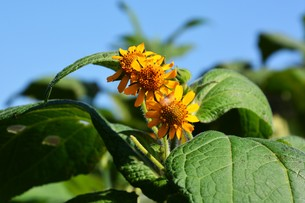 ヤーコンの花の写真素材 [FYI01191515]