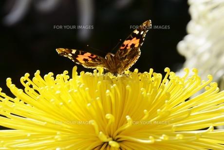 秋の風物詩 / 菊・大輪の写真素材 [FYI01191526]