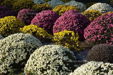 ガーデニング / ドーム菊の栽培の写真素材 [FYI01191557]