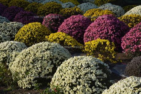 ガーデニング / ドーム菊の栽培の写真素材 [FYI01191558]