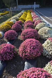 ガーデニング / ドーム菊の栽培の写真素材 [FYI01191559]