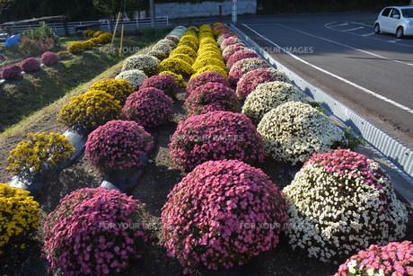 ガーデニング / ドーム菊の栽培の写真素材 [FYI01191560]