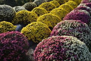ガーデニング / ドーム菊の栽培の写真素材 [FYI01191561]