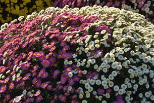 ガーデニング / ドーム菊の栽培の写真素材 [FYI01191562]