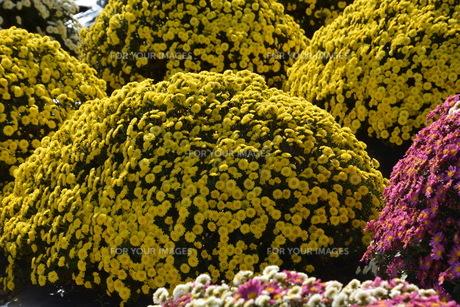 ガーデニング / ドーム菊の栽培の写真素材 [FYI01191563]