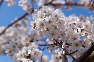 蜜蜂と桜の写真素材 [FYI01191583]