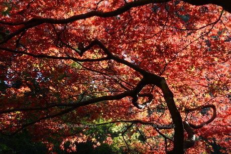 秋の大雄山最乗寺の写真素材 [FYI01191588]