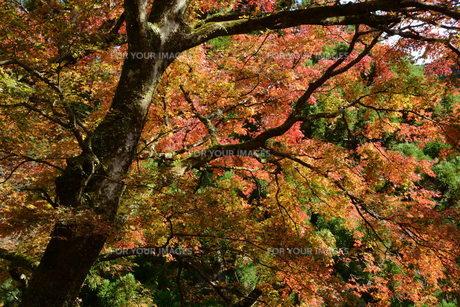 秋の大雄山最乗寺の写真素材 [FYI01191589]