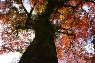 秋の大雄山最乗寺の写真素材 [FYI01191591]