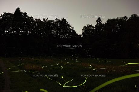 蛍の写真素材 [FYI01191622]