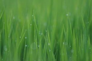 稲の葉露の写真素材 [FYI01191626]