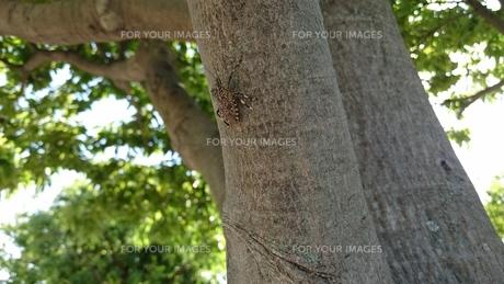 キマダラカメムシ stink bugs Erthesina fulloの写真素材 [FYI01191751]