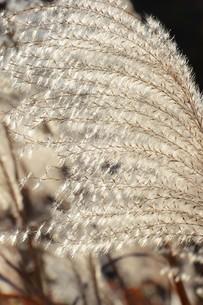 秋の七草・ススキの穂のアップ画像の写真素材 [FYI01191774]