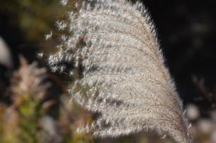 秋の七草・ススキの穂のアップ画像の写真素材 [FYI01191775]