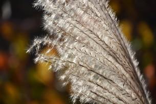 秋の七草・ススキの穂のアップ画像の写真素材 [FYI01191777]