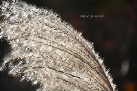 秋の七草・ススキの穂のアップ画像の写真素材 [FYI01191778]