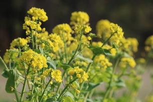 咲き誇る菜の花の写真素材 [FYI01191890]