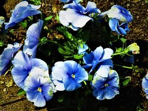 ネモフィラの青の写真素材 [FYI01191977]