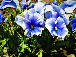 ネモフィラの青の写真素材 [FYI01191978]