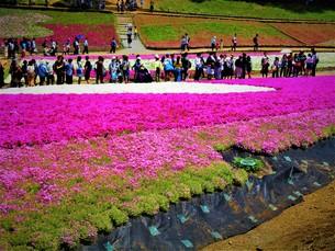 芝桜祭りの写真素材 [FYI01191982]