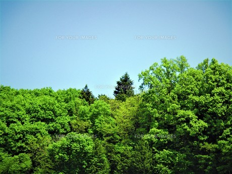 初夏の葉の写真素材 [FYI01191992]