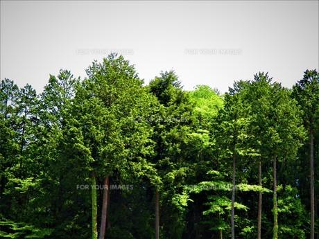 初夏の葉の写真素材 [FYI01191993]
