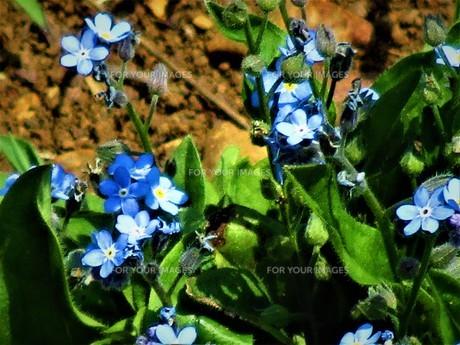 ネモフィラの青の写真素材 [FYI01191995]