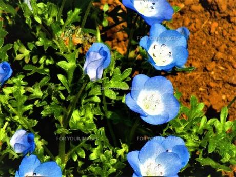 ネモフィラの青の写真素材 [FYI01192000]