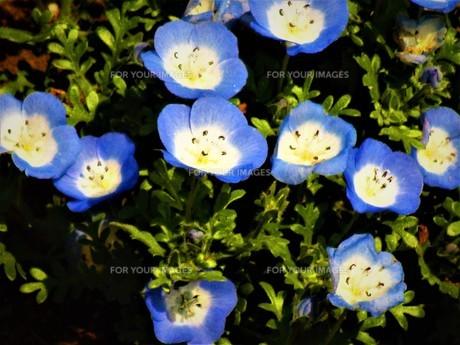 ネモフィラの青の写真素材 [FYI01192002]